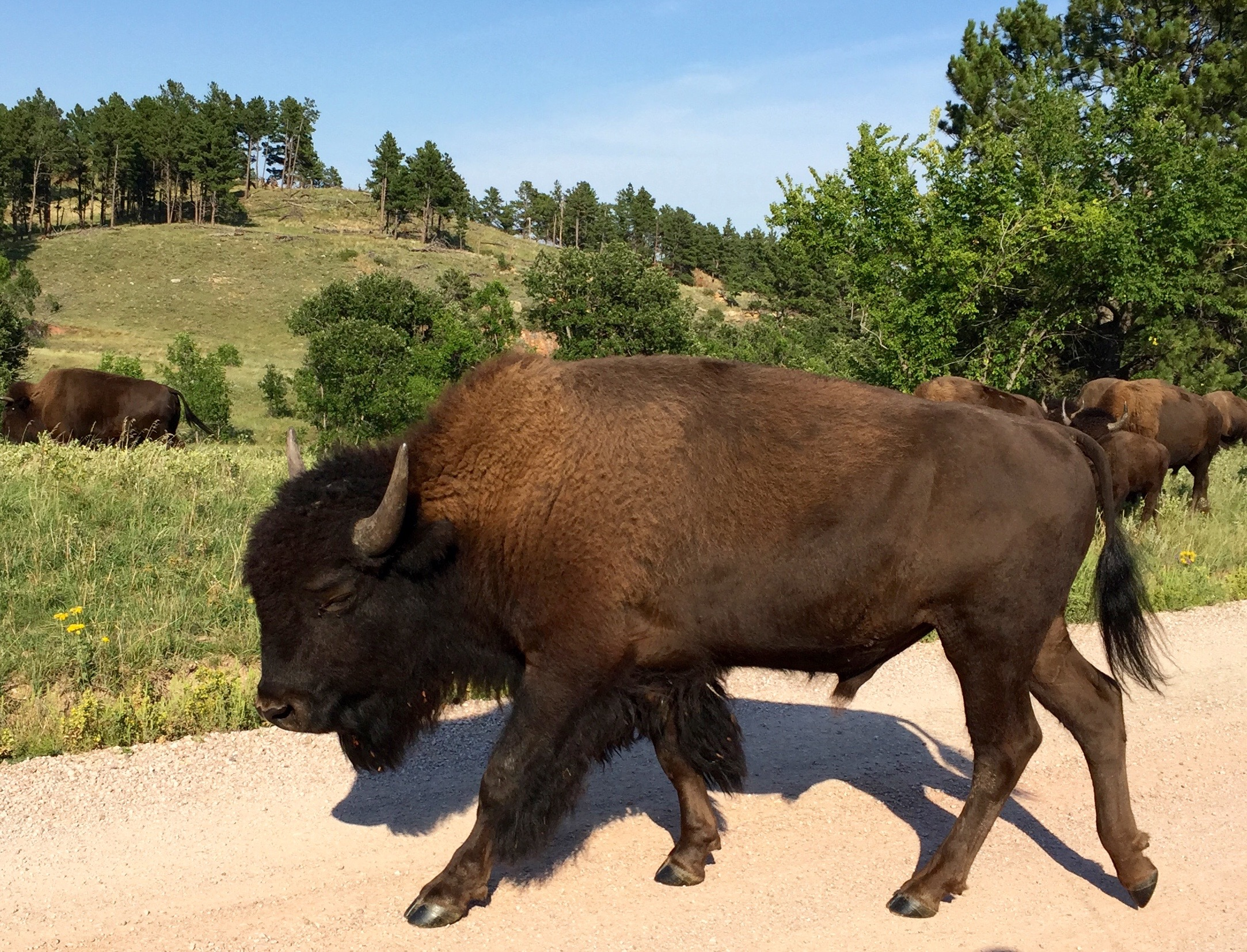 Custer State Park South Dakota Wildlife History And